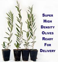 Santa Cruz Olive Tree Nursery Super