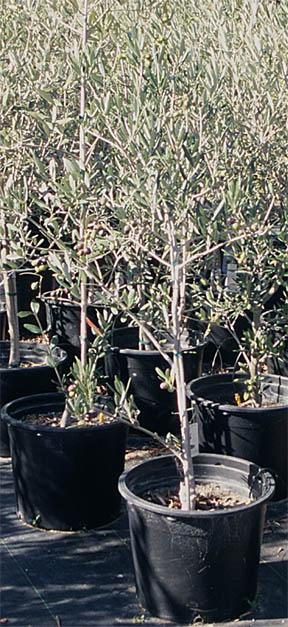 Santa Cruz Olive Tree Nursery